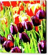Purple And Peach Tulips 2 Acrylic Print