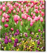 Purple And Pink Tulips In Canberra In Spring Acrylic Print