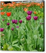 Purple And Red Tullips Acrylic Print