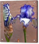 Purple And White Bearded Iris Bud Acrylic Print