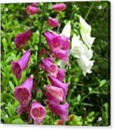 Purple And White Bell Flowers Acrylic Print