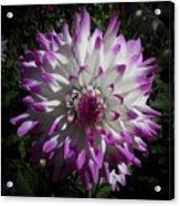 Purple And White Dahlia Acrylic Print