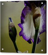 Purple And White Iris Flower Acrylic Print