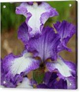 Purple And White Iris Layers Acrylic Print