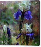 Purple And White Irises 6647 Dp_2 Acrylic Print