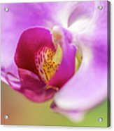 Purple And White Orchid 2 Acrylic Print
