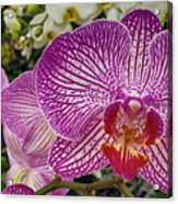 Purple And White Orchid Acrylic Print