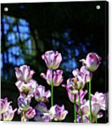 Purple And White Tulips - Photopainting Acrylic Print