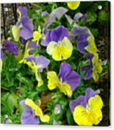 Purple And Yellow Pansies Acrylic Print