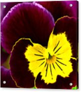 Purple And Yellow Pansy Acrylic Print