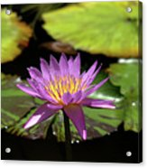Purple And Yellow Water Lily Acrylic Print