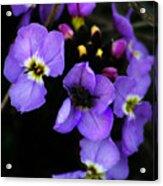 Purple Arctic Wild Flowers Acrylic Print