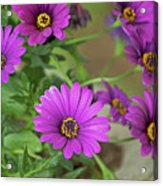 Purple Aster Flowers Acrylic Print