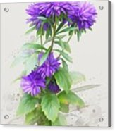 Purple Aster Acrylic Print