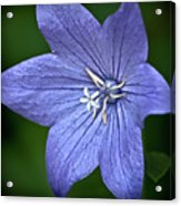 Purple Balloon Flower Acrylic Print
