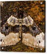 Purple Bar Cosmorhoe Ocellata Acrylic Print