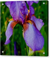 Purple Bearded Iris Portrait Acrylic Print