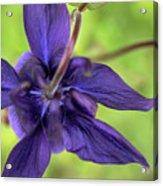 Purple Beaut Acrylic Print