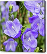 Purple Bell Flowers Acrylic Print