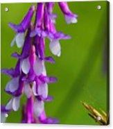 Purple Bird Vetch Plant  Acrylic Print