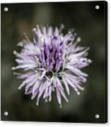 Purple Bloom Acrylic Print