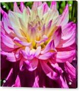 Purple Bloom Acrylic Print