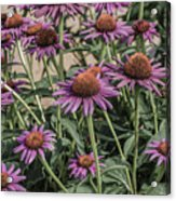 Purple Blooms Acrylic Print