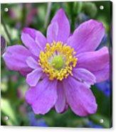 Purple Blossom 1 Acrylic Print