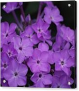 Purple Blossoms Acrylic Print
