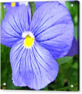 Purple Blue Pansey Acrylic Print