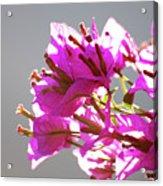 Purple Bougainvillea Flower Acrylic Print