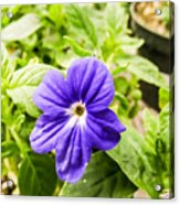 Purple Browallia Flower Acrylic Print