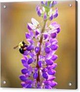 Purple Buzz Acrylic Print