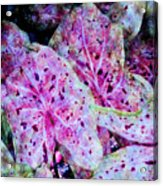 Purple Caladium Acrylic Print