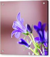 Purple Campanula Blooms Acrylic Print