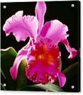 Purple Cattleya Acrylic Print