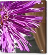 Purple Chinese Aster Acrylic Print