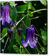 Purple Clamatis Bells Acrylic Print