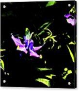 Purple Clematis 4 Acrylic Print