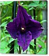 Purple Clematis Henryi Acrylic Print