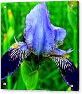 Purple Coated Iris Acrylic Print