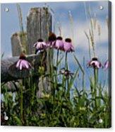 Purple Cone Flower Acrylic Print