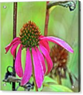 Purple Coneflower Along White Pine Trail In Kent County, Michigan  Acrylic Print