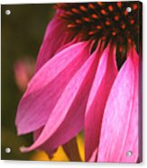 Purple Coneflower Close-up Acrylic Print