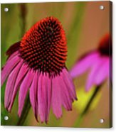 Purple Coneflower Acrylic Print