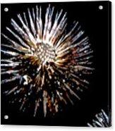 Purple Coneflower Seed Head Acrylic Print