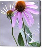 Purple Cornflowers Acrylic Print