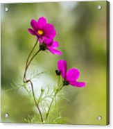 Purple Cosmos Flowers Square Acrylic Print