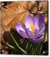 Purple Crocus In Dried Leaves Acrylic Print