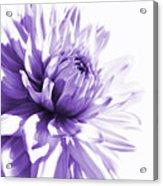 Purple Dahlia Floral Acrylic Print